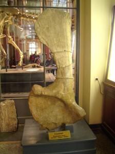Schulterblatt Brachiosaurus brancai, Naturkundemuseum Berlin
