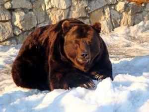 Russischer Bär