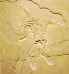 archeopteryx_berlin300