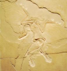 Berliner Archaeopteryx, Naturkundemuseum Berlin. Bild: bb