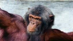 chimpanzee-deity