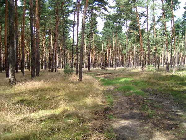Märkischer Kiefernwald,Bild: brightsblog(bb)