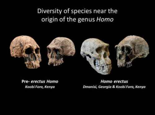 These fossil skulls, representing pre-erectus Homo and Homo erectus, exhibit diverse traits and indicate that the early diversification of the human genus was a period of morphological experimentation. Kenyan fossil casts (Chip Clark, Smithsonian Human Origins Program); Dmanisi Skull 5 (Guram Bumbiashvili, Georgian National Museum).