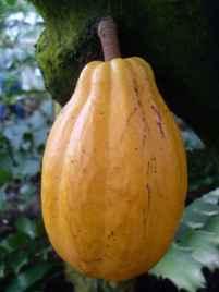 Kakaofrucht, Botanischer Garten Lund, Schweden