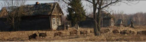 Wild boars return to Chernobyl. Image: Valeriy Yurko