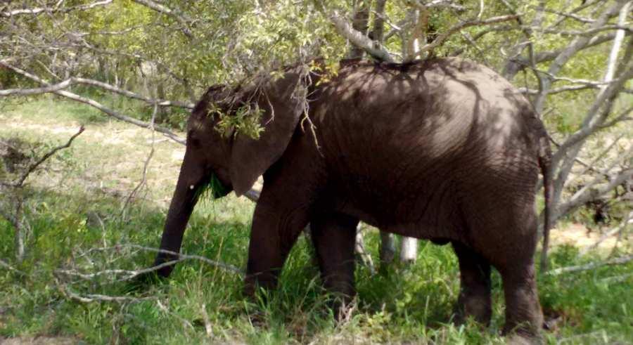 Elefant, Kruger Nationalpark, Südafrika